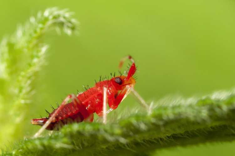 Mirid Bug Nymph
