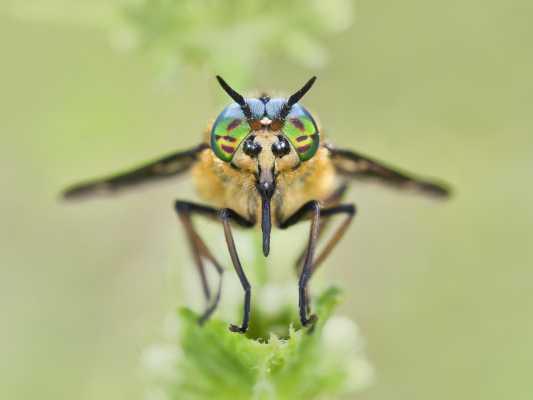 Twin-Lobed Deerfly