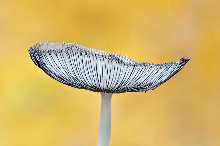 Harefoot Mushroom