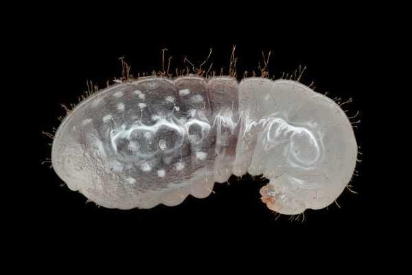 Mierenlarve